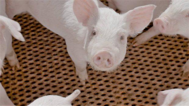 「恋する豚研究所」が注目した、おいしい豚を育てる発酵飼料とはどんな物?